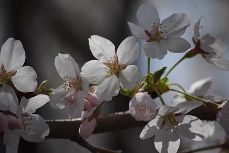 Under_sakura